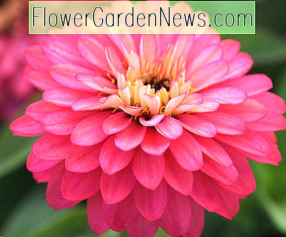 Zinnia Marylandica 'Double Zahara Lachsrose'