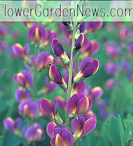 Baptisia x variicolor 'Twilite' (False Indigo)