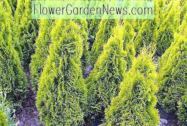 Thuja occidentalis 'Janed Gold' (Amerikanische Arborvitae)