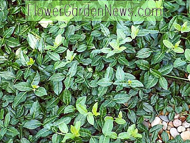 Euonymus fortunei 'Coloratus' (Purple Wintercreeper)