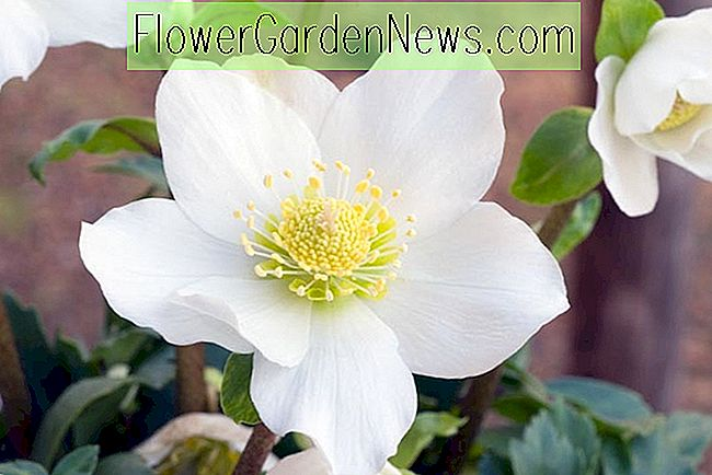 Helleborus niger 'HGC Jacob' (Christmas Rose)