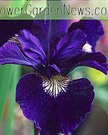Iris Sibirica 'Shirley Pope' information croissante, iris sibérien 'Shirley Pope', drapeau sibérien 'Shirley Pope', fleurs bleues, Fleurs pour sols humides, Plantes pour sols humides