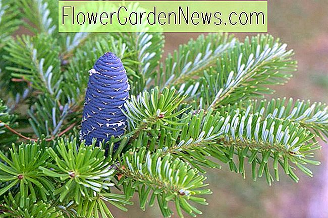 Abies koreana 'Blå keiser', Koreansk Fir 'Blå keiser', Blå keiser Koreansk fir, Evergreen Conifer, Evergreen busk, Silberlock koreansk fir, Blå keiser Fir