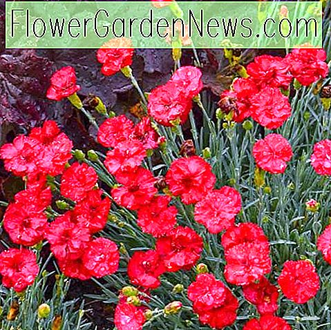 Dianthus 'Frosty Fire' (สีชมพู)