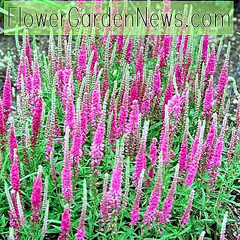 Veronica spicata 'Red Fox', Spike Speedwell 'Red Fox', Rode bloemen, Rode bloemaren, Roze bloemen, Roze bloemaren