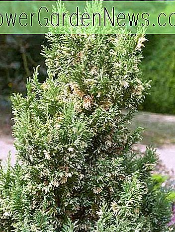 Chamaecyparis lawsoniana 'หัวข้อเงิน (Lawson Cypress)