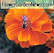 Cosmos Sulphureus 'Cosmic Orange', Gelber Kosmos Kosmische Orange, Orange Kosmos Kosmische Orange