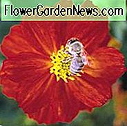 Cosmos Sulphureus 'Cosmic Red', Gelber Kosmos Cosmic Red, Orange Kosmos Cosmic Red, Schwefel Kosmos Cosmic Red
