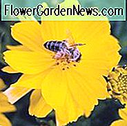 Cosmos Sulphureus 'Cosmic Yellow', Gelber Kosmos Cosmic Yellow, Orange Kosmos Cosmic Yellow, Schwefel Kosmos Cosmic Yellow