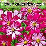 Cosmos Bipinnatus 'Cosimo Purple Red-White' informatie, Mexican Aster Cosimo Purple Rood-witte informatie, Cosmos Cosimo Purple Rood-Wit informatie