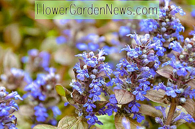 Ajuga Reptans 'Chocolate Chip', Bugle 'Chocolate Chip', Teppich-Bugle 'Chocolate Chip', Ajuga 'Schokoladen-Chip', Bugleweed 'Chocolate Chip', Carpentweed 'Chocolate Chip', Ajuga reptans 'Valfredda'