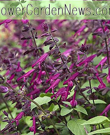 Salvia 'Love And Wishes' (Sage)