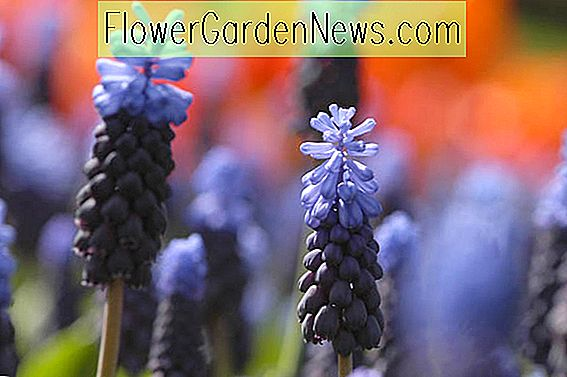 Muscari latifolium (Grape Hyacinth)