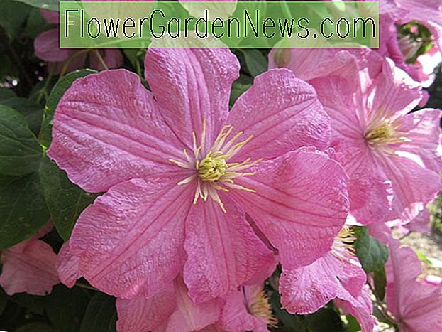 Clematis 'Comtesse de Bouchaud' (Late Large-Flowered Clematis)