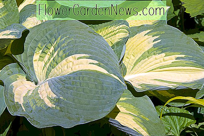 Hosta 'Great Expectations' (Plantain Lily)