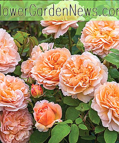 Rosa 'The Lady Gardener' (Ausbrass)