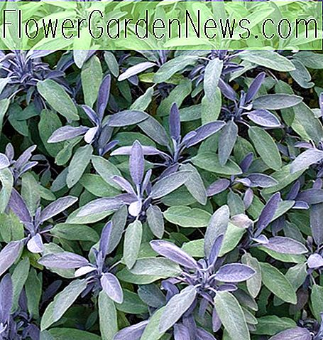 Salvia officinalis 'Purpurascens' (Purple Sage)