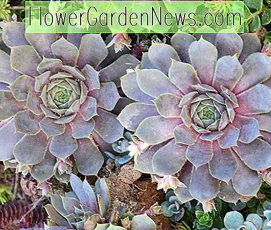 Sempervivum 'Pacific Blue Ice' (Hens and Chicks)