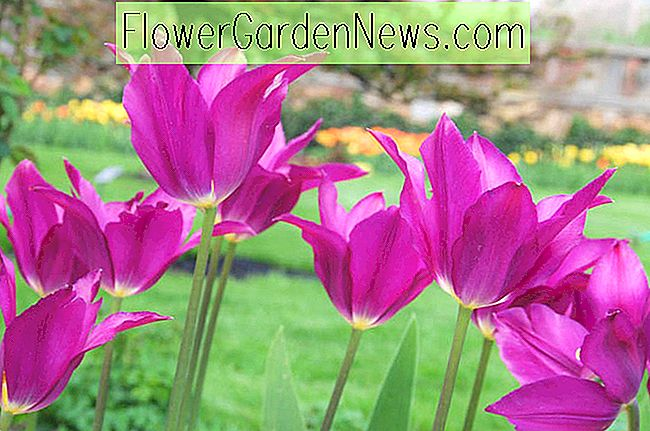 Tulipa 'Purple Dream' (Lily-Flowered Tulip)