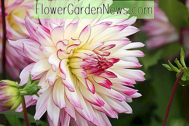 Decoratieve Dahlia's