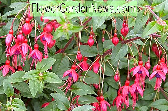 Fuchsia 'Peter Pan'