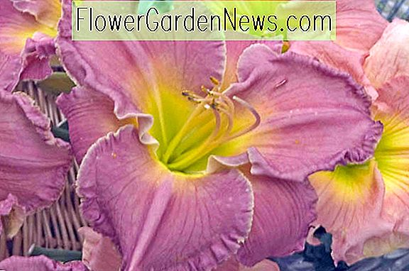 Hemerocallis 'Advanced Party' (Hibiscus Rebelle)