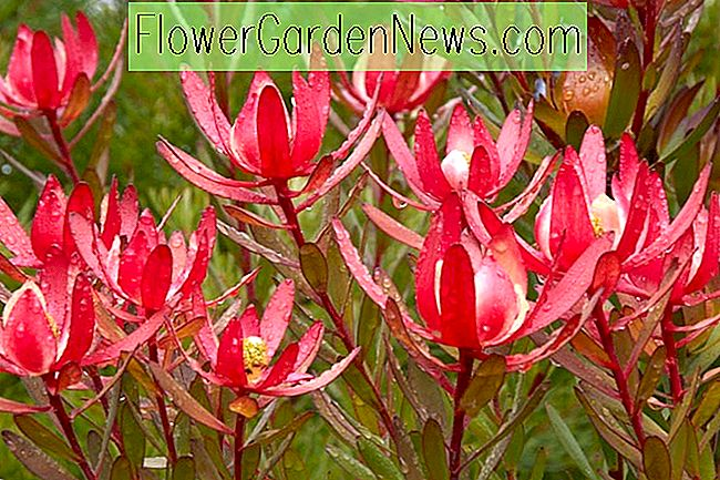 Leucadendron 'Safari Sunset' (Conebush)