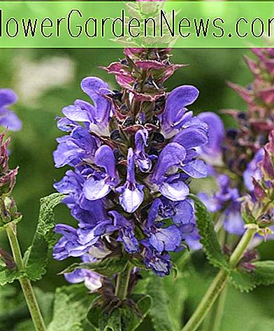 Salvia nemorosa 'Blue Marvel' (Sage)
