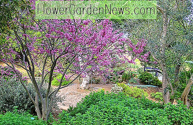 Cercis occidentalis (Westlicher Redbud)