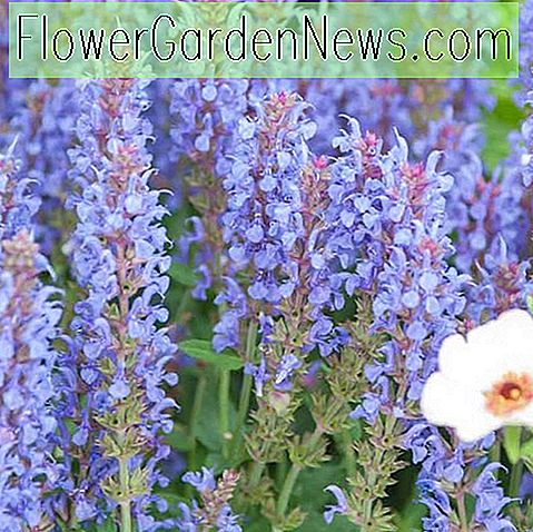 Salvia x sylvestris 'Blue Hill' ('Blauhugel' Sage)