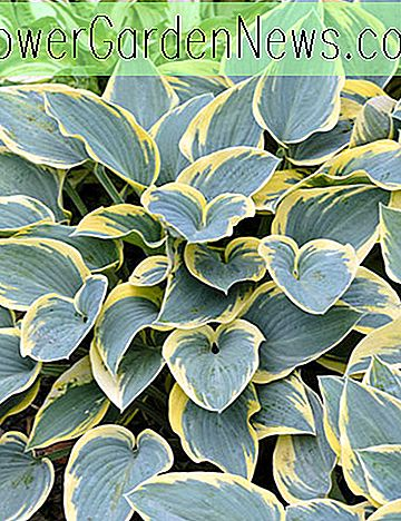 Hosta 'First Frost' (Weegbree Lily)