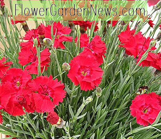 Dianthus 'Fire Star' (Pink)