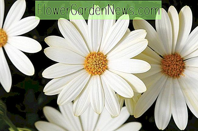 Osteospermum 'Voltage White' (African Daisy)