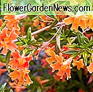Mimulus aurantiacus, Bush Monkey Flower, Sticky Monkey Flower, Orange Bush Monkey Flower, Diplacus aurantiacus, Orange flowers, California natives,