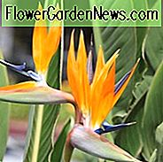 Strelitzia reginae, Bird of Paradise, Strelitzia, Crane Flower,