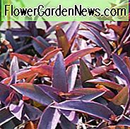 Tradescantia pallida Purpurea, Purple Heart, Purple Queen, Wandering Jew 'Purpurea', Purple Spiderwort, Setcreasea purpurea, Setcreasea tampicana, Tradescantia pallida 'Purple Heart', Tradescantia purpurea, Purple groundcover