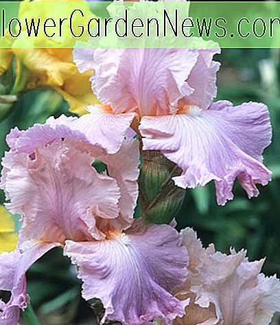 Iris 'Poem of Ecstasy' (Bearded Iris)