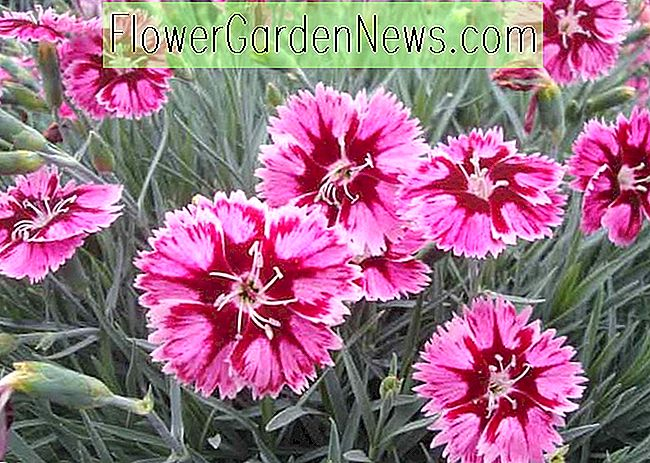 Dianthus 'Superstar' (roze)