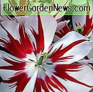 Tulipa 'Ice Follies', Tulpe 'Ice Follies', Triumph Tulip 'Ice Follies', Triumph Tulpen, Frühlingszwiebeln, Frühlingsblumen, Red Tulip, Bicolor Tulip, White Tulip