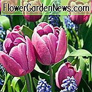 Tulipa 'Blue Ribbon', Tulpe 'Blue Ribbon', Triumph Tulip 'Blue Ribbon', Triumph Tulpen, Frühlingsblumen, Frühlingsblumen, Purple Tulips, Pink Tulips, Tulpen Triomphe, Mid-Frühling Tulpen