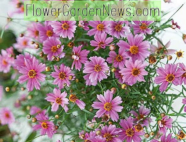 Coreopsis 'Limerock Passion' (Tickseed)