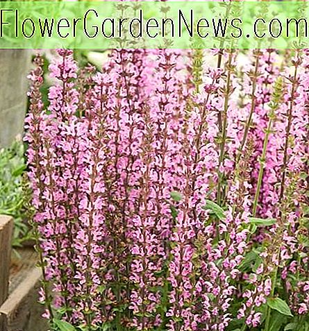 Salvia nemorosa 'Neue Dimension Rose' (Salbei)
