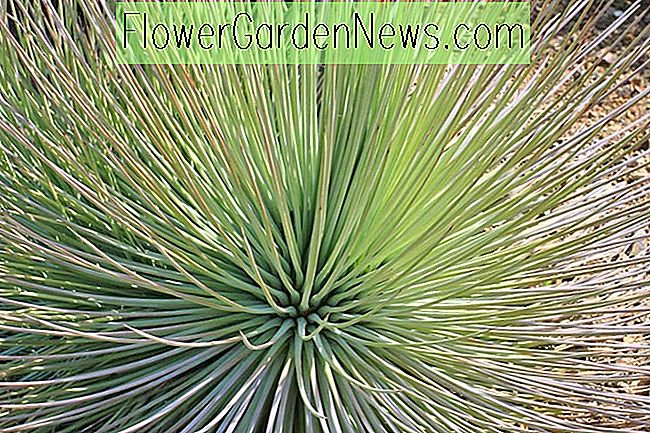 Agave striata, Narrow Leaf Century Plant, Agave echinoides, Agave ensiformis, Agave hystrix, Agave recurva, Agave richardsii, Green Agave, Droogtetolerante plant, Hardy Agave, Cold hardy agave
