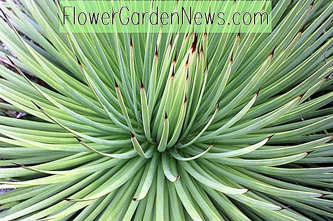 Agave striata (Narrow Leaf Century Plant)