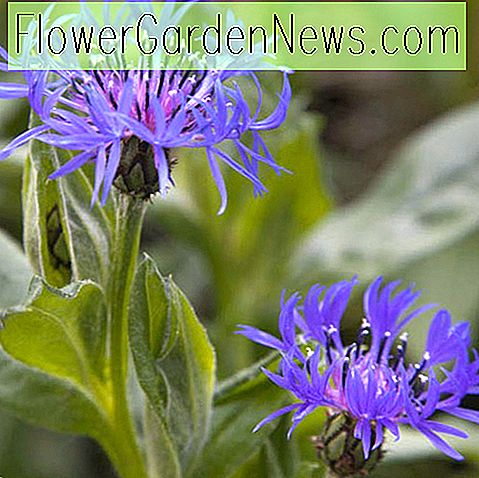Centaurea montana (Mountain Blueflower)
