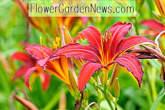 Hemerocallis 'Crimson Pirate' (Daylily)
