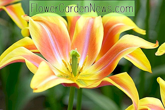 Tulipa 'Ballade Dream' (Lily-Flowered Tulip)