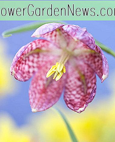 Fritillaria meleagris (Checkered Lily)
