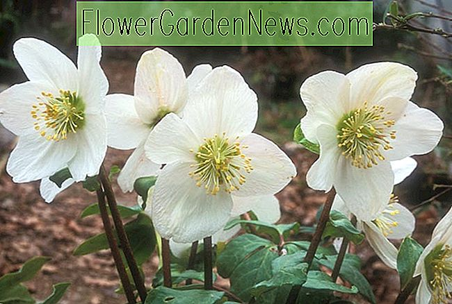 Helleborus niger 'Potter's Wheel' (Christmas Rose)