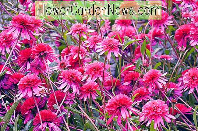 Echinacea 'Southern Belle' (Coneflower)